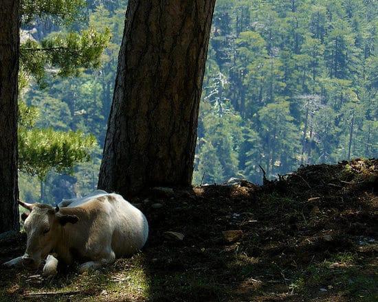Foret-d-Aitone-Corsica-uitzicht-met-koe