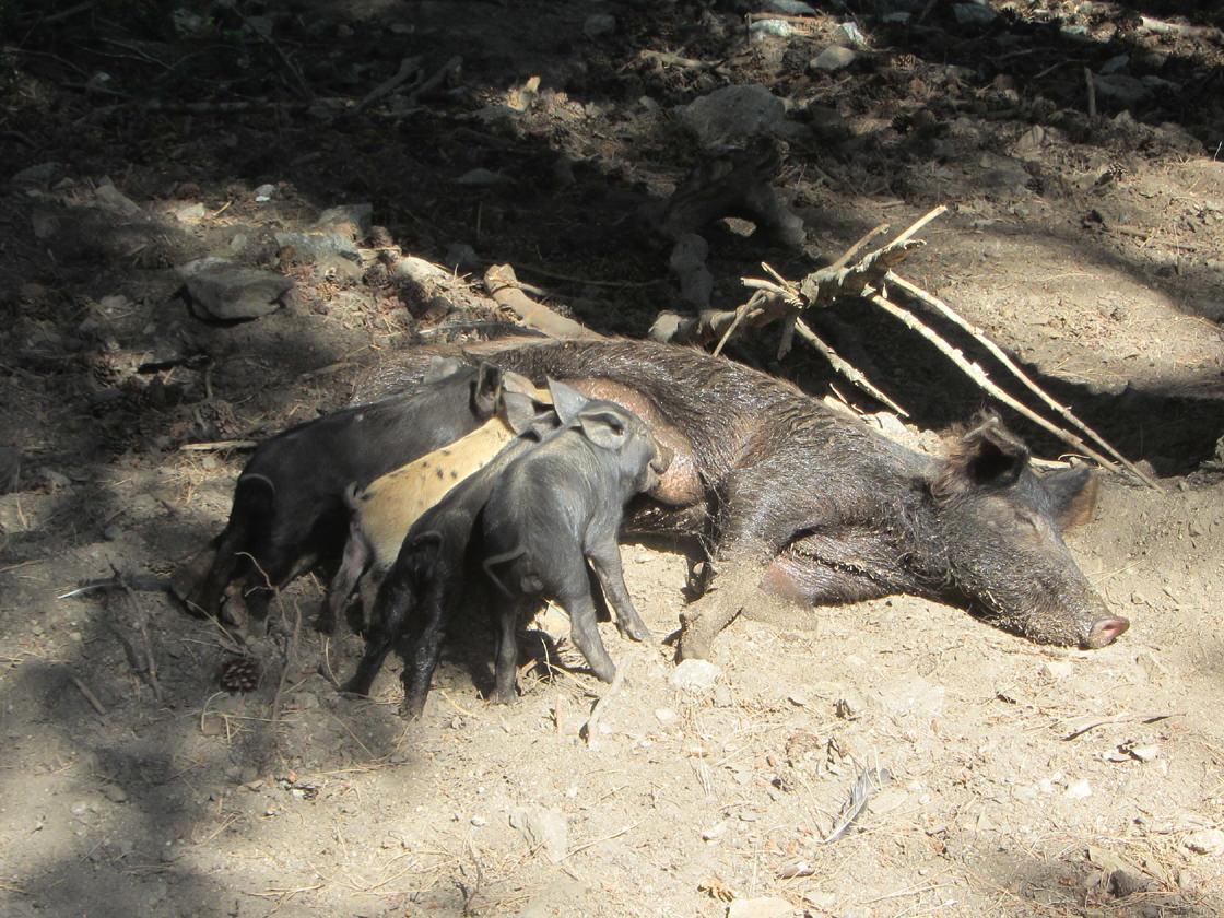Wilde varkens op Corsica