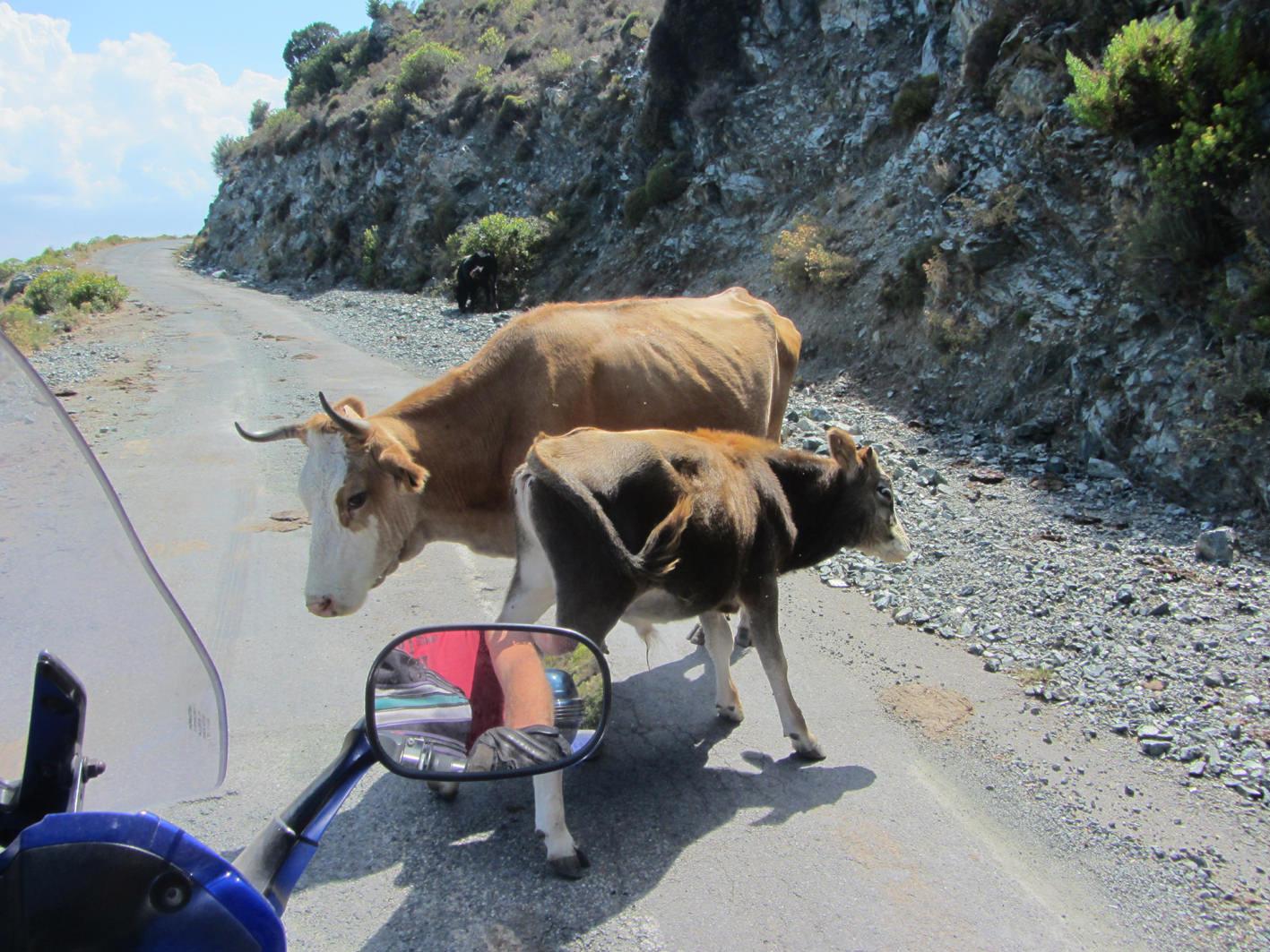 Koeien op de weg op Corsica