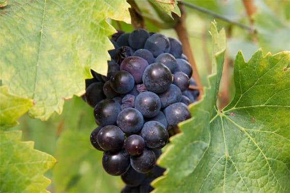 Corsica-druif