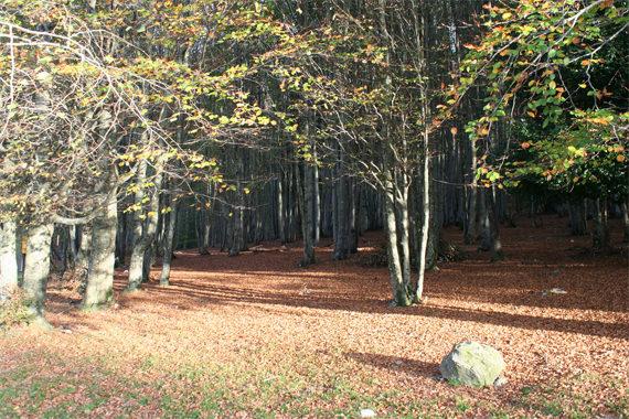Foret-de-Vizzavona-bomen