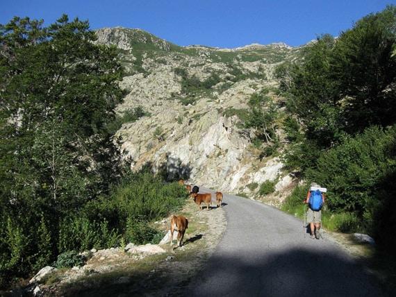 Rondreis-GR20-Zuid-op-Corsica-met-koeien-op-de-weg