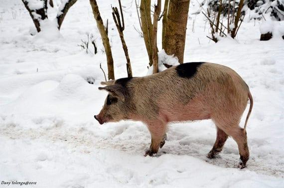 Wildzwijn-in-Castagniccia